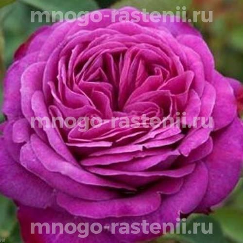 Роза чайно-гибридная Иоганн Вольфганг фон Гете на штамбе