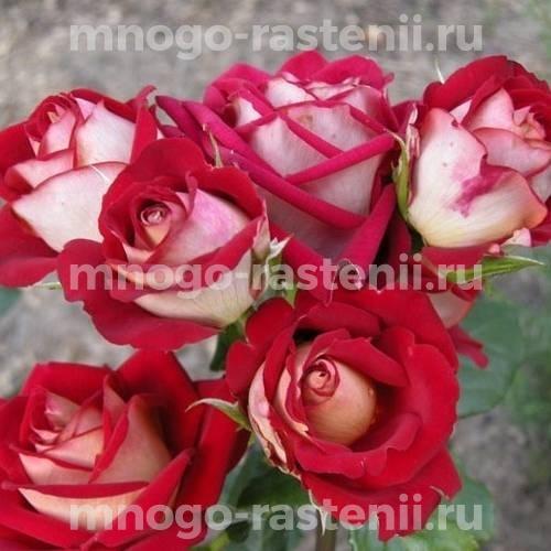 Роза чайно-гибридная Кроненбург на штамбе
