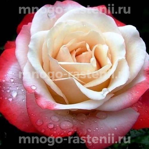 Роза чайно-гибридная Мэри Энн на штамбе