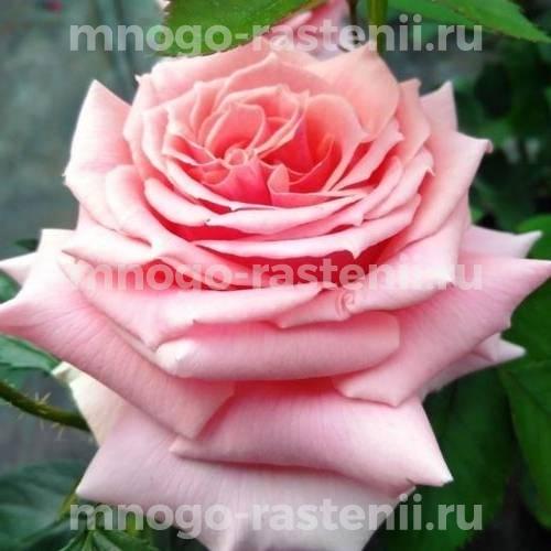 Роза чайно-гибридная Поэзия на штамбе