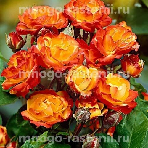 Роза флорибунда Румба на штамбе