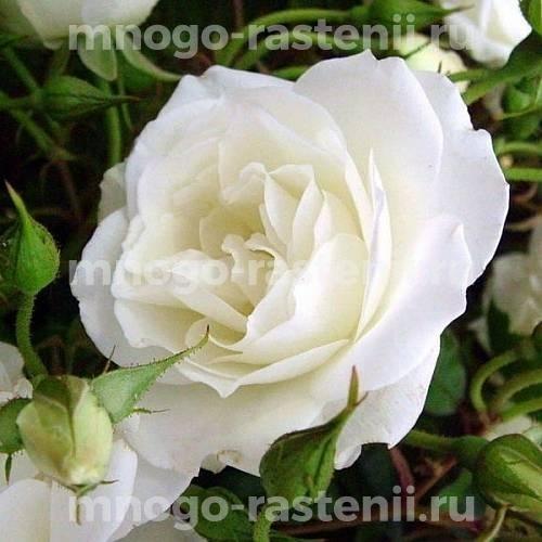 Роза флорибунда Шнивитхен на штамбе
