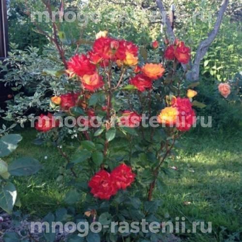 Роза флорибунда Алинка на штамбе