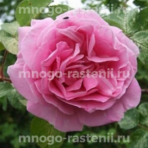 Роза флорибунда Трист на штамбе