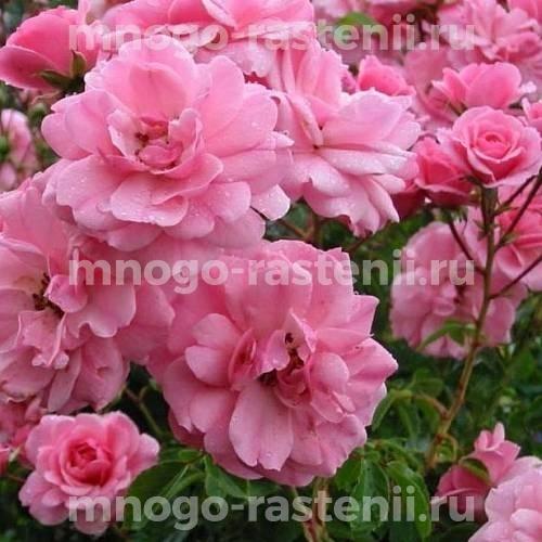Роза флорибунда Боника на штамбе