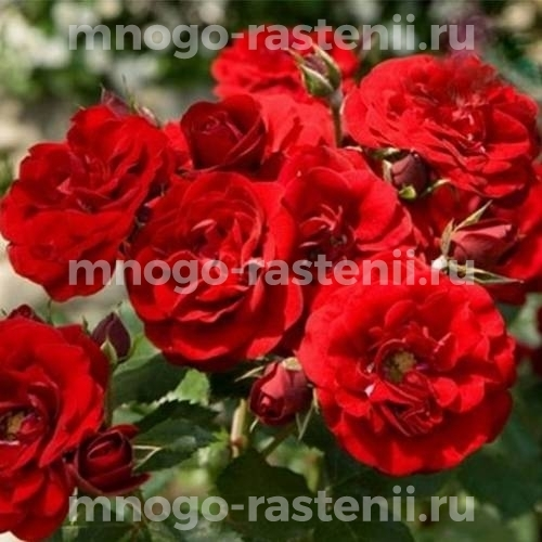 Роза флорибунда Сатчмо на штамбе