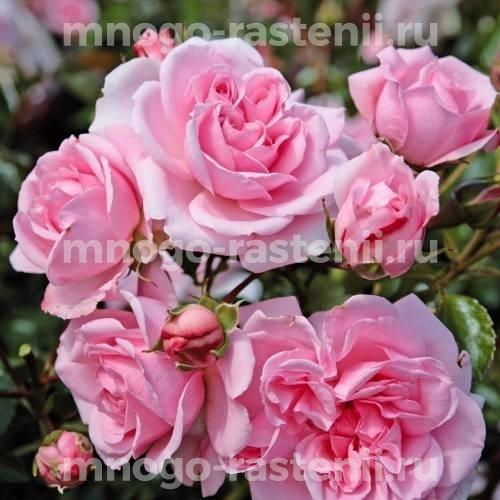 Роза флорибунда Хоум Унд Гарден на штамбе