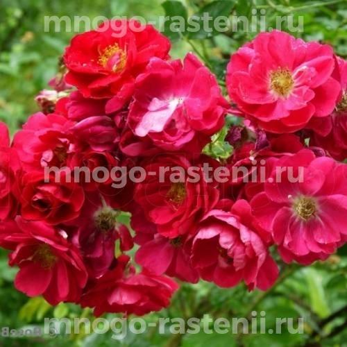 Роза канадская Генри Кесли