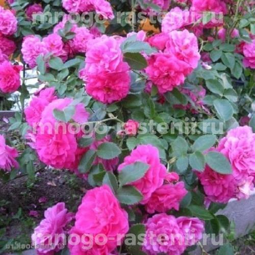 Роза канадская Джон Кэботт