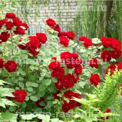 Роза канадская Катберт Грант