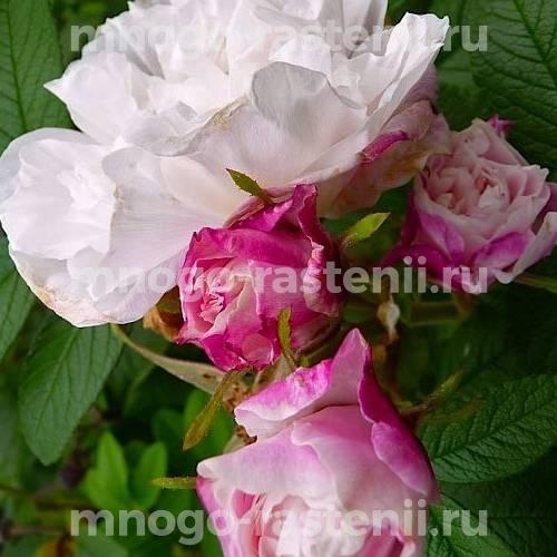 Роза канадская Луиза Багнет