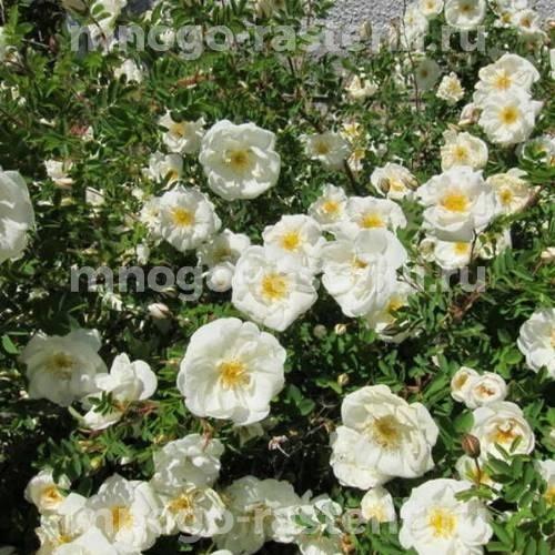 Роза канадская Морден Сноубьюти