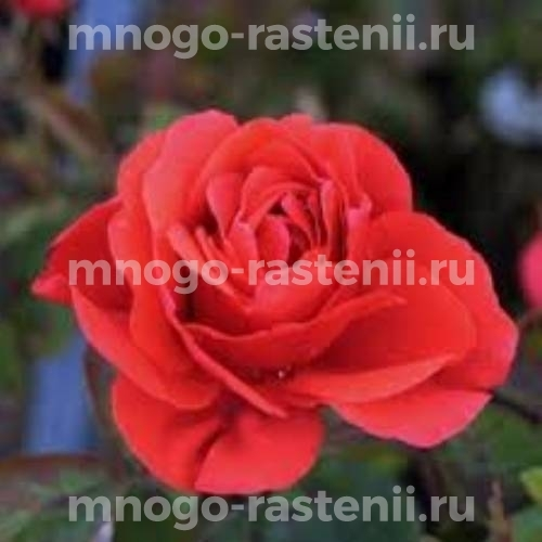 Роза канадская Морден Файерглоу