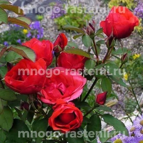 Роза канадская Николас