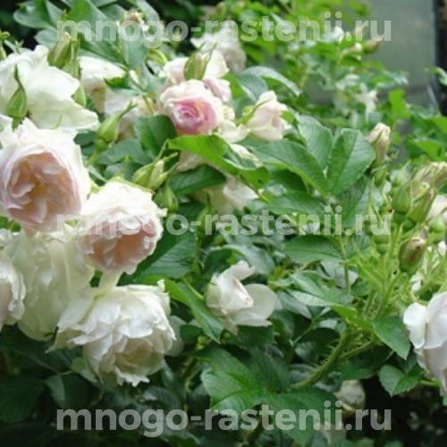 Роза канадская Ритаусма