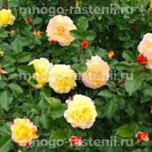 Роза канадская Ругельда