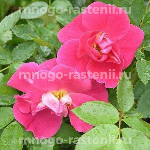 Роза канадская Уильям Баффин