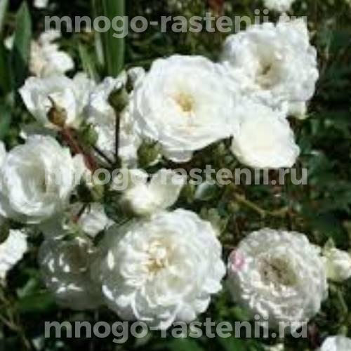 Роза Снежный балет