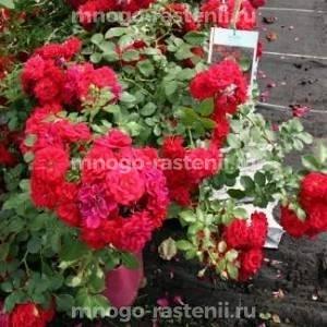 Роза почвопокровная Хэллоу