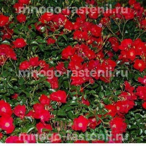 Роза почвопокровная Рэд Вельвет