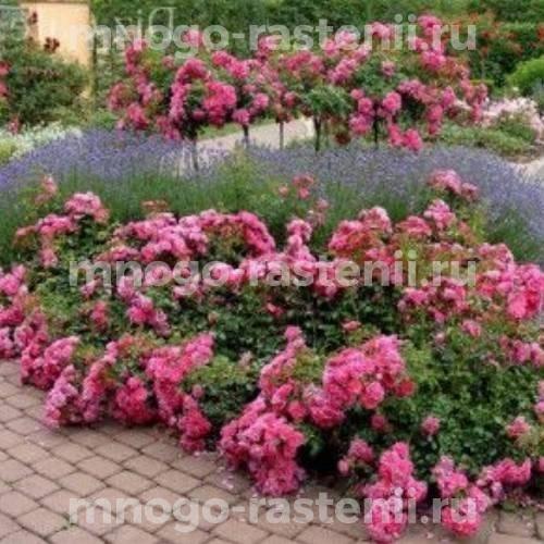 Роза почвопокровная Флауер Карпет