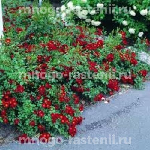 Роза почвопокровная Бассино