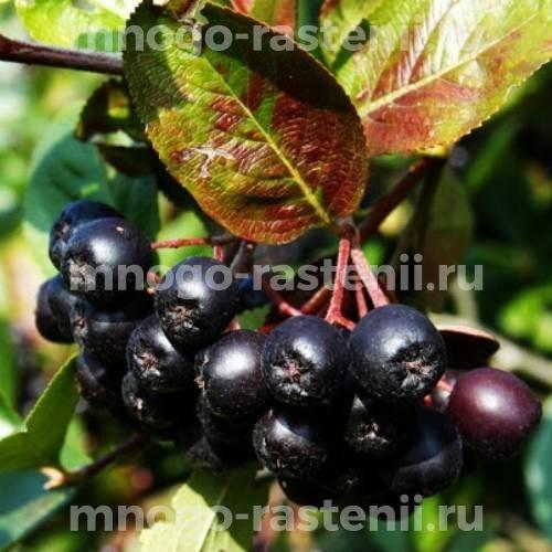 Арония (черноплодная рябина) сливолистная Nero