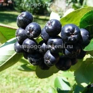 Арония (черноплодная рябина) сливолистная Арон