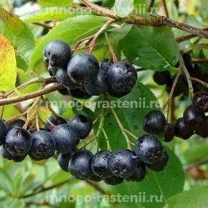 Арония (черноплодная рябина) Eastland