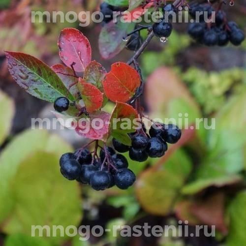 Арония (черноплодная рябина) древовидная Amit