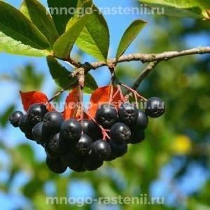 Арония (черноплодная рябина) Смуглянка