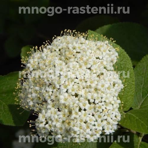 Арония (черноплодная рябина) Эгерта