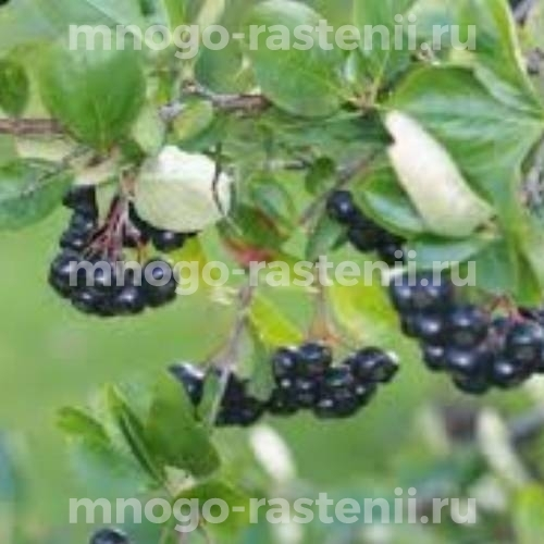Арония (черноплодная рябина) Мичурина