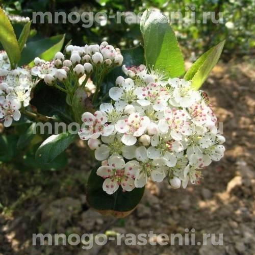 Арония (черноплодная рябина) Вениса