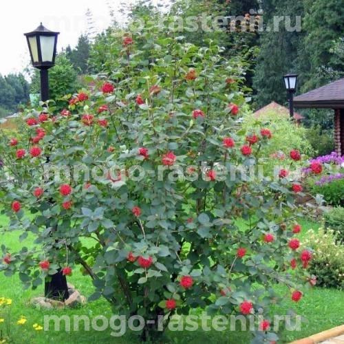 Калина садовая Элексир