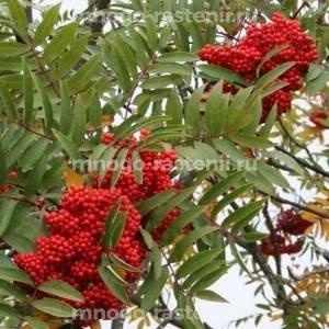 Калина садовая Рябинушка