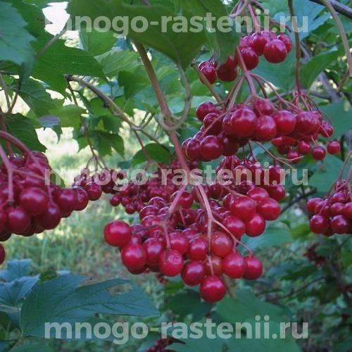 Калина садовая Ульгень