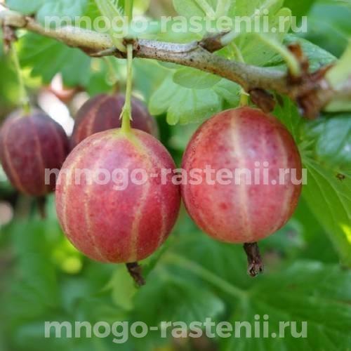 Крыжовник Уральский розовый