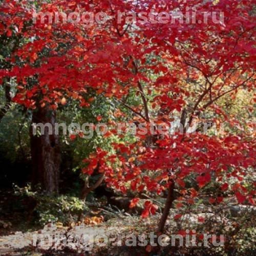 Ирга крупноцветковая Forest Prince