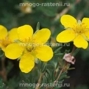 Лапчатка кустарниковая Джэкманс Вариети