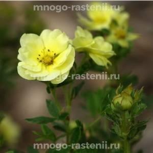 Лапчатка кустарниковая Лемон Меринг