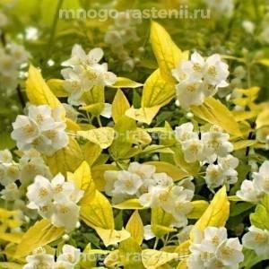Жасмин Желтый Холм