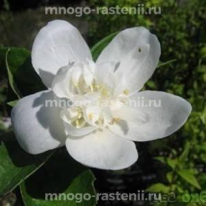 Жасмин Розацеа