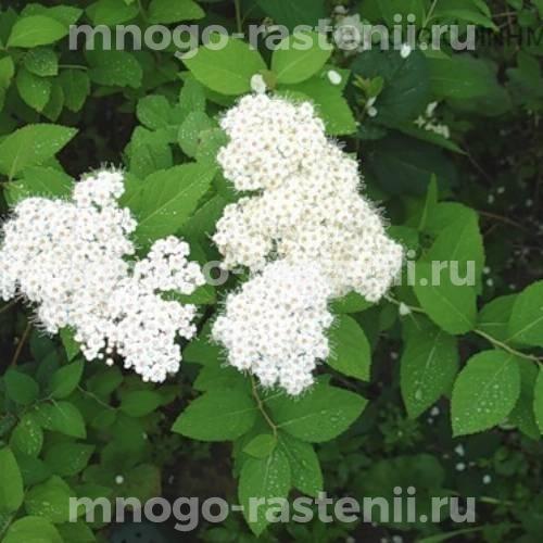 Спирея Albiflora