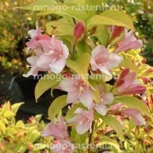 Вейгела цветущая Looymansii Aurea