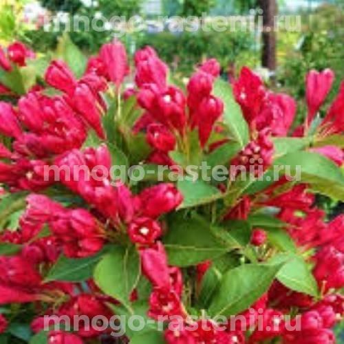 Вейгела цветущая All Summer Red