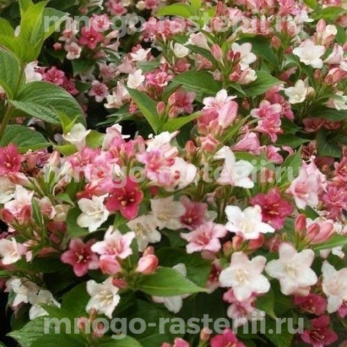 Вейгела цветущая Marjorie