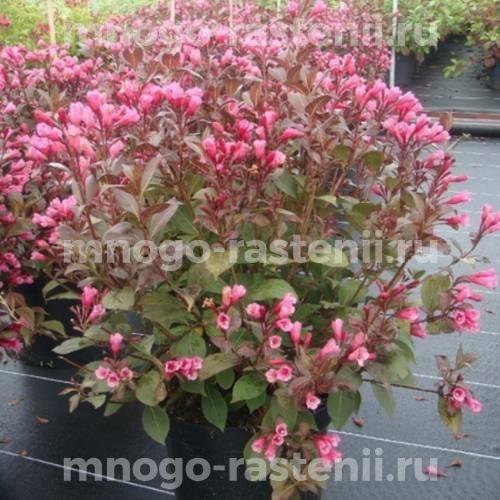 Вейгела цветущая Viktoria