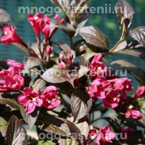 Вейгела цветущая Verweig 3