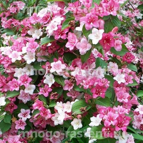 Вейгела цветущая Courtalor